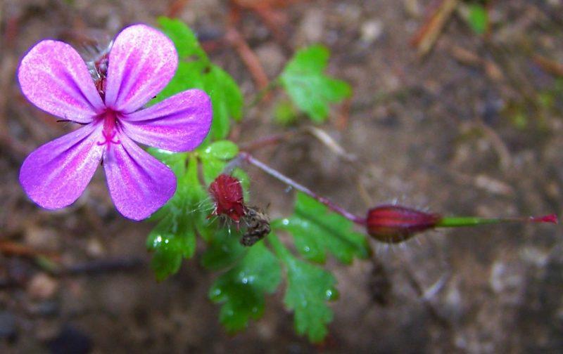 Geranium herbe a robert 09