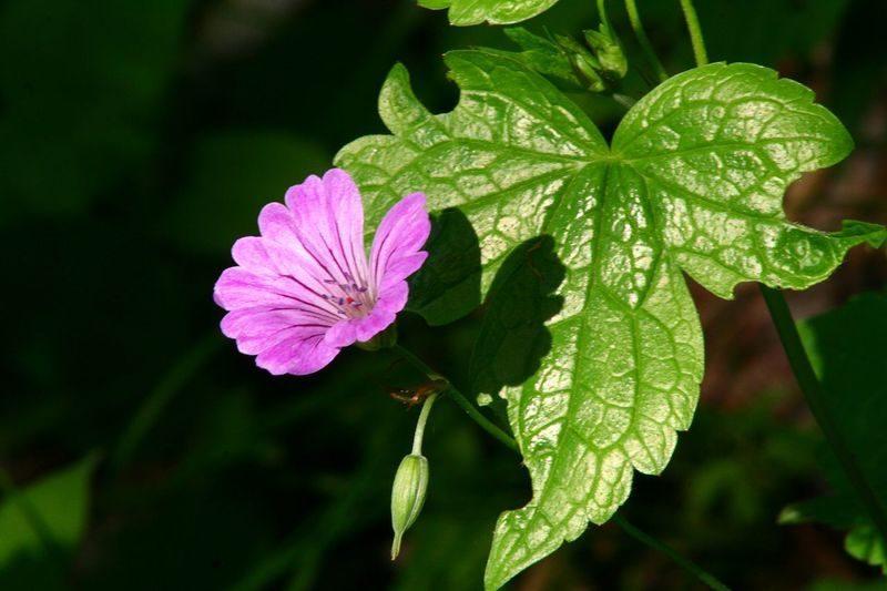 Geranium noueux - Geranium nodosum-2.redimensionné