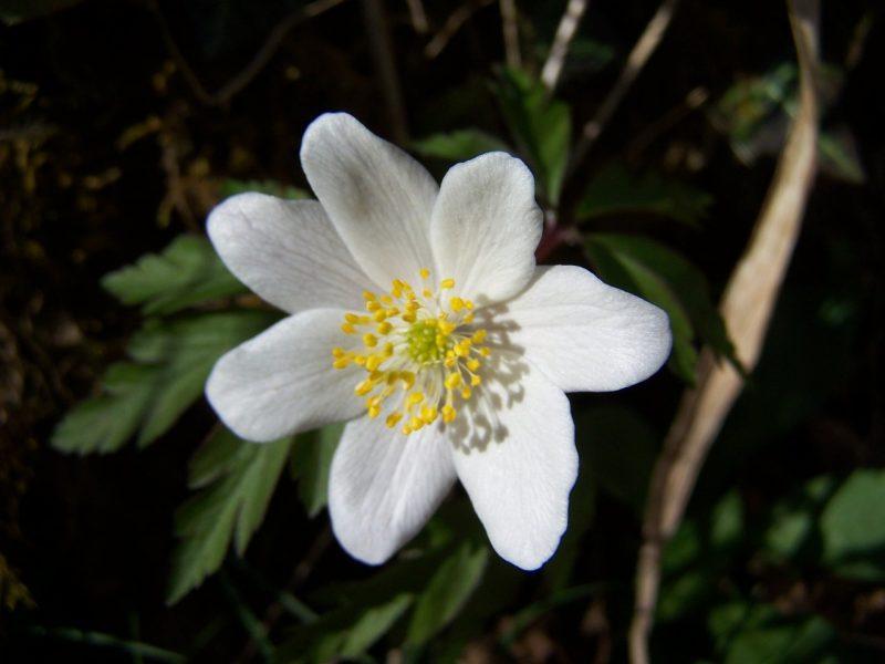 Anemone sylvie-15