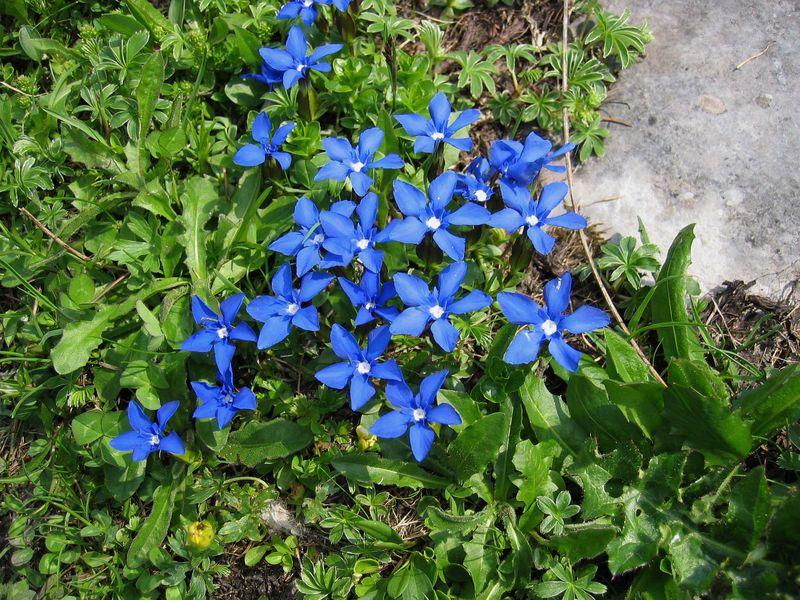 gentiane-de-printemps-06