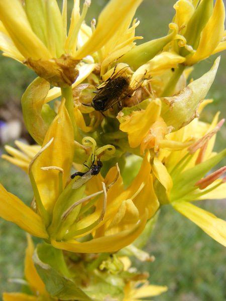 gentiane-jaune-3