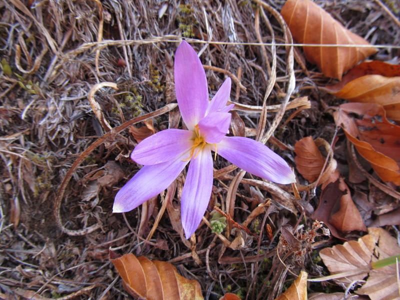 colchique-pyrenees-colchicum-montanum-05
