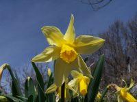 Jonquille / Narcissus jonquilla