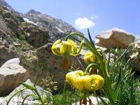 Lis des pyrénées / Lilium pyrenaicum