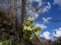 Primevère officinale / Primula veris