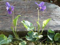 Violette de rivin / Viola riviniana