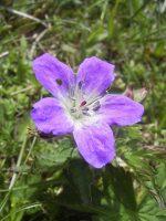 Géranium des bois / Geranium sylvaticum