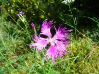 Oeillet de montpellier / Dianthus hyssopifolius