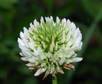Trêfle rampant / Trifolium repens