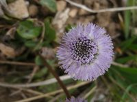 Globulaire commune / Globularia vulgaris