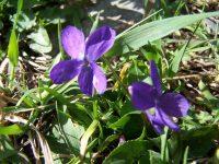 Violette des pyrénées / Viola pyrenaica
