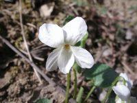 Violette blanche / Viola alba