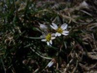 Drave printanière / Erophila verna