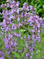 Sauge officinale / Salvia officinalis