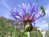Centaurée des montagnes / Centaurea montana