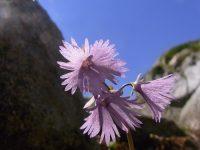 Soldanelle des alpes / Soldanella alpina