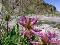Trêfle alpin / Trifolium alpinum