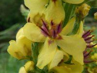 Molène noire / Verbascum nigrum