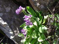 Primevère à larges feuilles / Primula latifolia