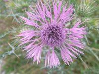 Chardon commun / Carduus vulgaris