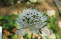 Grande Astrance / Astrantia major