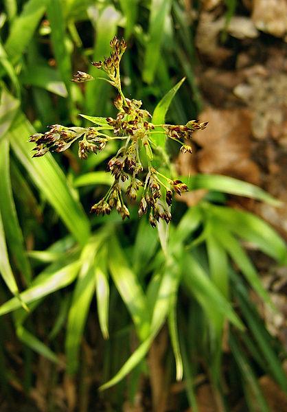 Luzule des bois / Luzula sylvatica