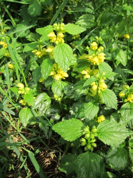Lamier jaune / Lamium galeobdolon