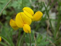Lotier des alpes / Lotus alpinus