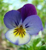 Pensée tricolore / Viola tricolor