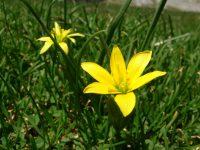 Gagée jaune / Gagea lutea