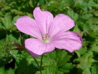 Géranium d'Endress / Geranium endressii Gay
