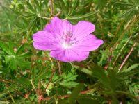 Géranium sanguin / Géranium sanguineum L.