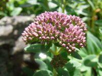 Orpin à feuilles de fèves / Sédum téléphium fabaria