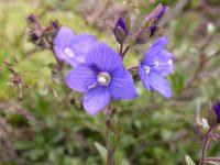 Veronique des alpes / Veronica alpina