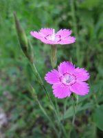 Oeillet à delta / Dianthus deltoides