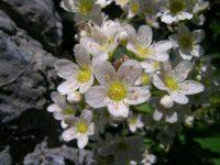 Saxifrage paniculée / Saxifraga paniculata