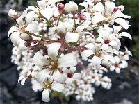 Saxifrage pyramidale / Saxifraga cotyledon
