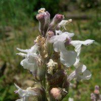 Népéta à feuilles lancéolées / Nepeta nepetella