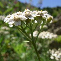 Achillée à feuilles de camomille / Achillea chamaemelifolia