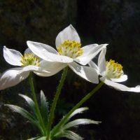 Anémone à Feuilles de Narcisse / Anemone narcissiflora