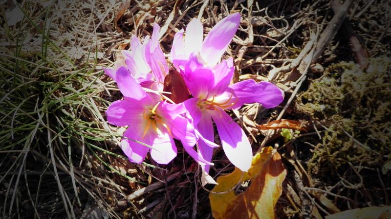 Colchique des Pyrénées / Colchicum montanum