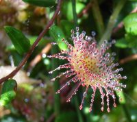 Droséra à feuilles rondes / Droséra rotundifolia