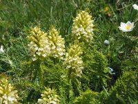 Pédiculaire feuillée / Pedicularis foliosa