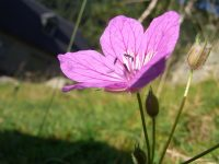 L'Érodium de Manescaut / Erodium manescavi