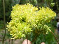 Pigamon jaune / Thalictrum flavum