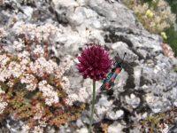 Ail à tête ronde / Allium sphaerocephalon